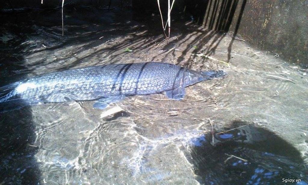 Cá Sấu Hỏa Tiễn -Chó con Rott lai Phú Quốc - 2
