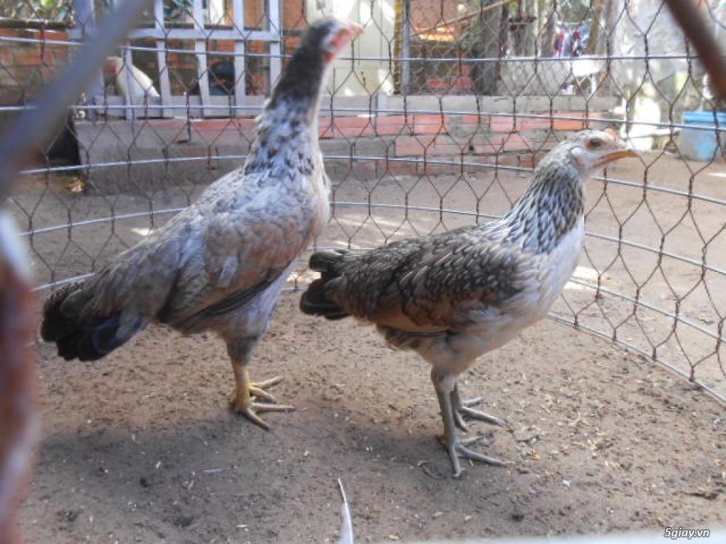 LAI VUNG _GÀ nòi MỸ_các loại gà LAI cho ae đá tiền - 12