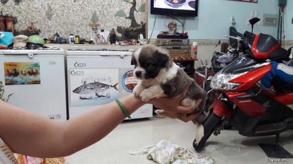 Tân Bình - Bán chó Nhật con 1 tháng đẹp giá tốt - 8