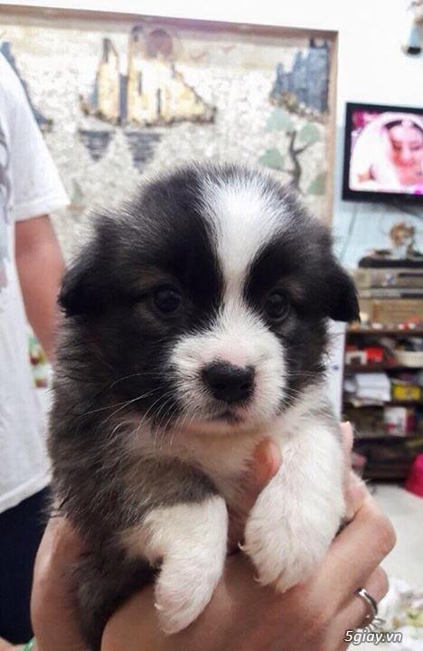 Tân Bình - Bán chó Nhật con 1 tháng đẹp giá tốt - 1