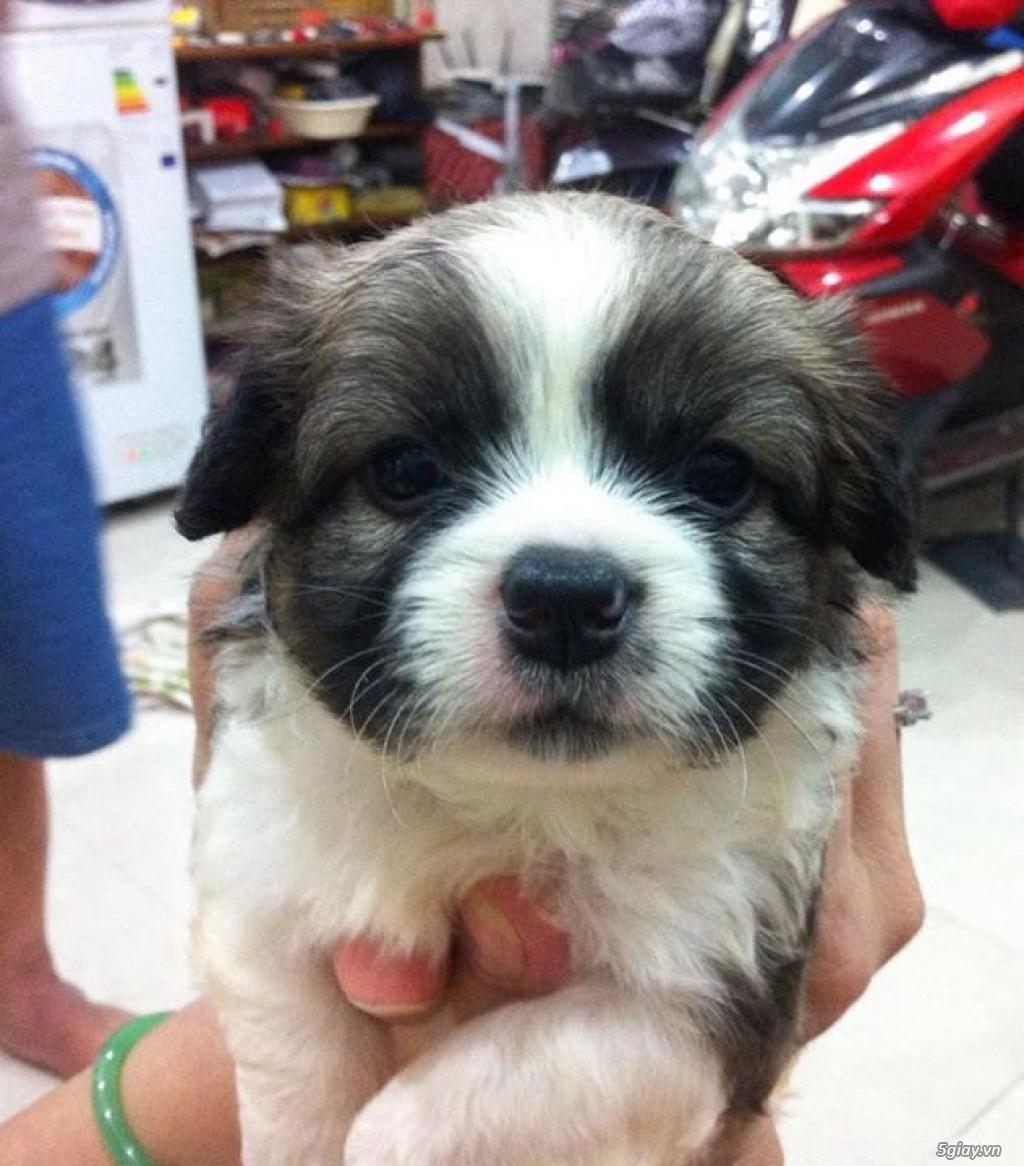 Tân Bình - Bán chó Nhật con 1 tháng đẹp giá tốt - 7