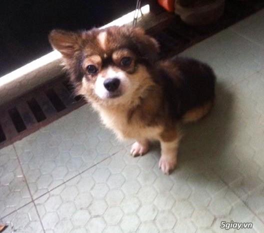 Tân Bình - Bán chó Nhật con 1 tháng đẹp giá tốt - 5