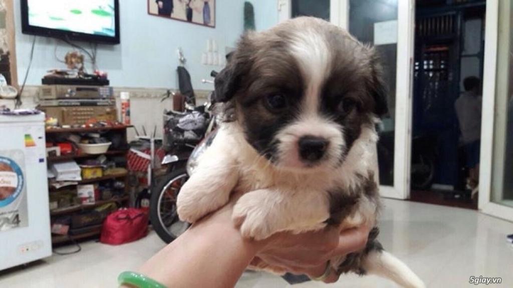Tân Bình - Bán chó Nhật con 1 tháng đẹp giá tốt - 9