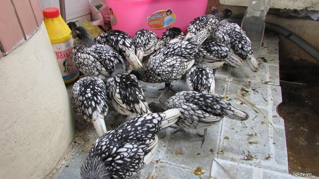 Trại gà kiểng gồm các giống gà ngoại nhập: Serama,Rosecomo,Ba Lan Sư Tử,Phoenix,Sikie,Vảy cá,gà Thái - 27