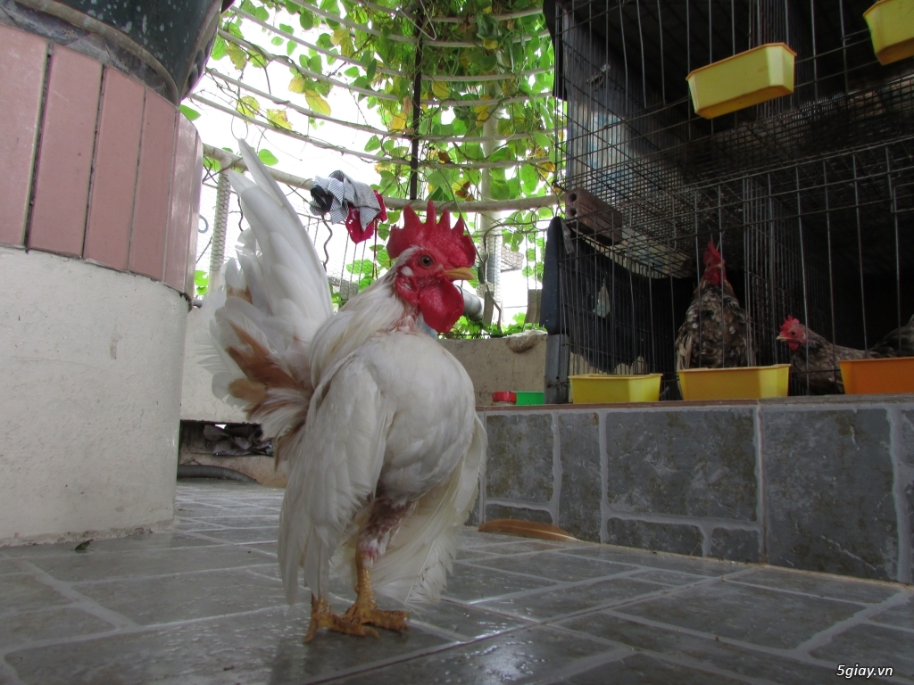Trại gà kiểng gồm các giống: Serama,Rocomc,Phoenix,Balan,Thái Chuối Tuyết (Thủ Đức)