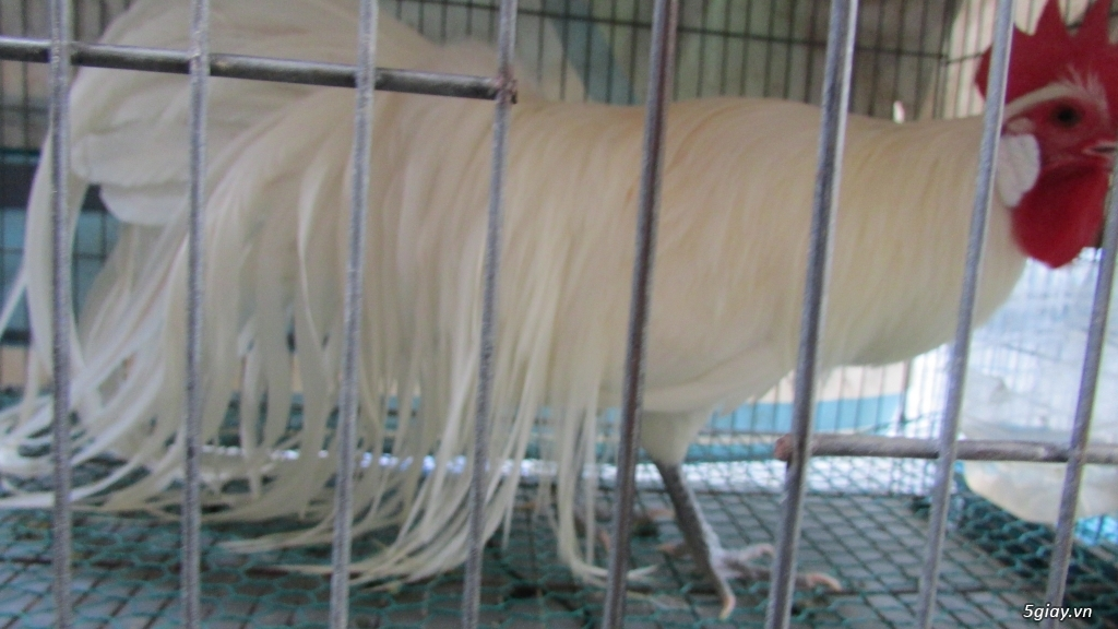 Trại gà kiểng gồm các giống gà ngoại nhập: Serama,Rosecomo,Ba Lan Sư Tử,Phoenix,Sikie,Vảy cá,gà Thái - 38
