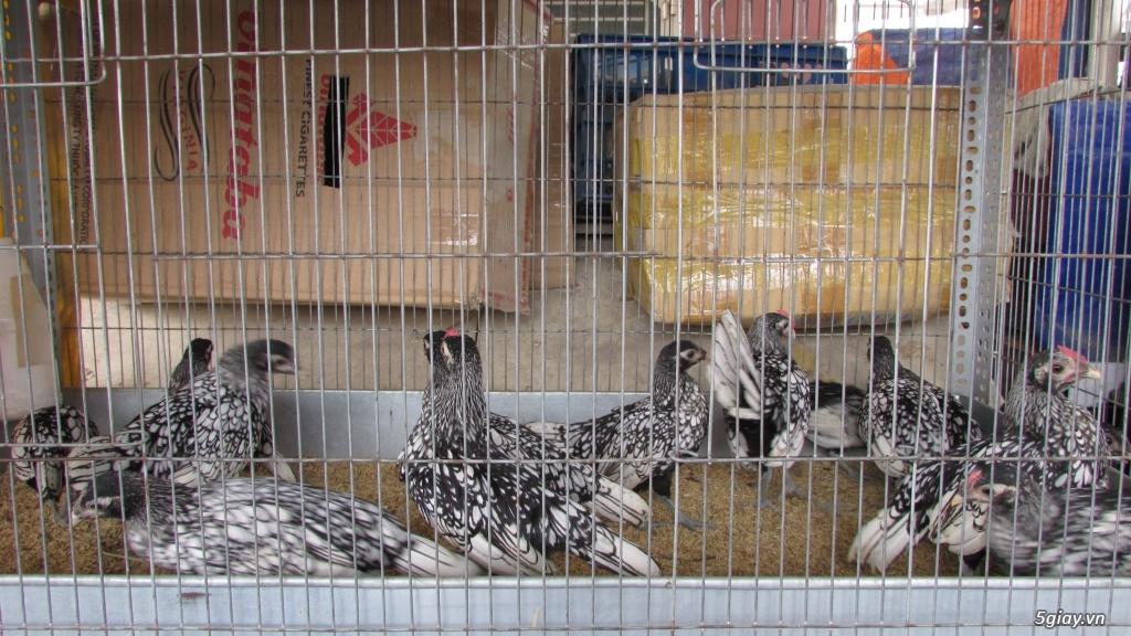 Trại gà kiểng gồm các giống: Serama,Rocomc,Phoenix,Balan,Thái Chuối Tuyết (Thủ Đức) - 12
