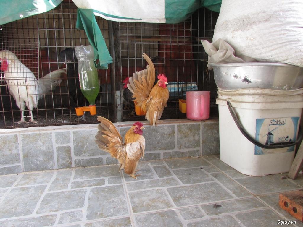 Trại gà kiểng gồm các giống gà ngoại nhập: Serama,Rosecomo,Ba Lan Sư Tử,Phoenix,Sikie,Vảy cá,gà Thái - 1