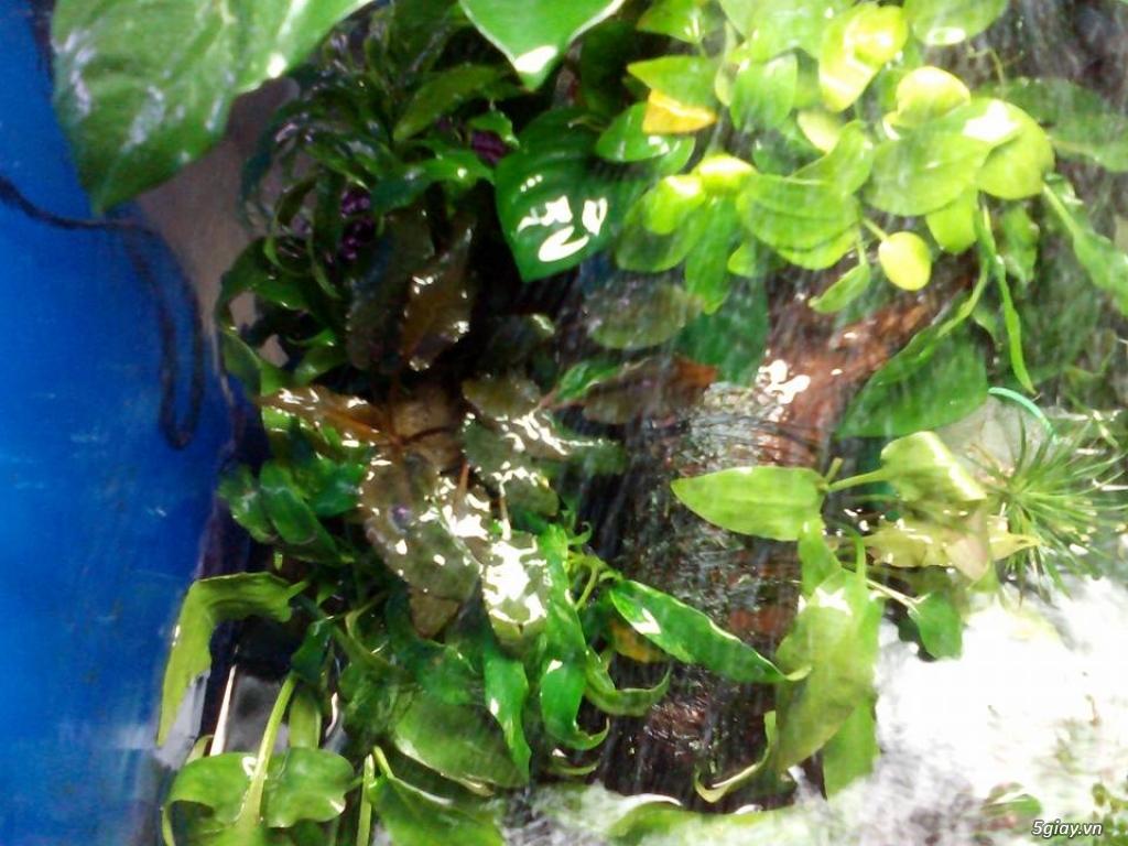 Bình thạnh-Cá cảnh Trung-nguyễn,đủ loại cá cảnh đẹp nhất hiện nay ! - 13