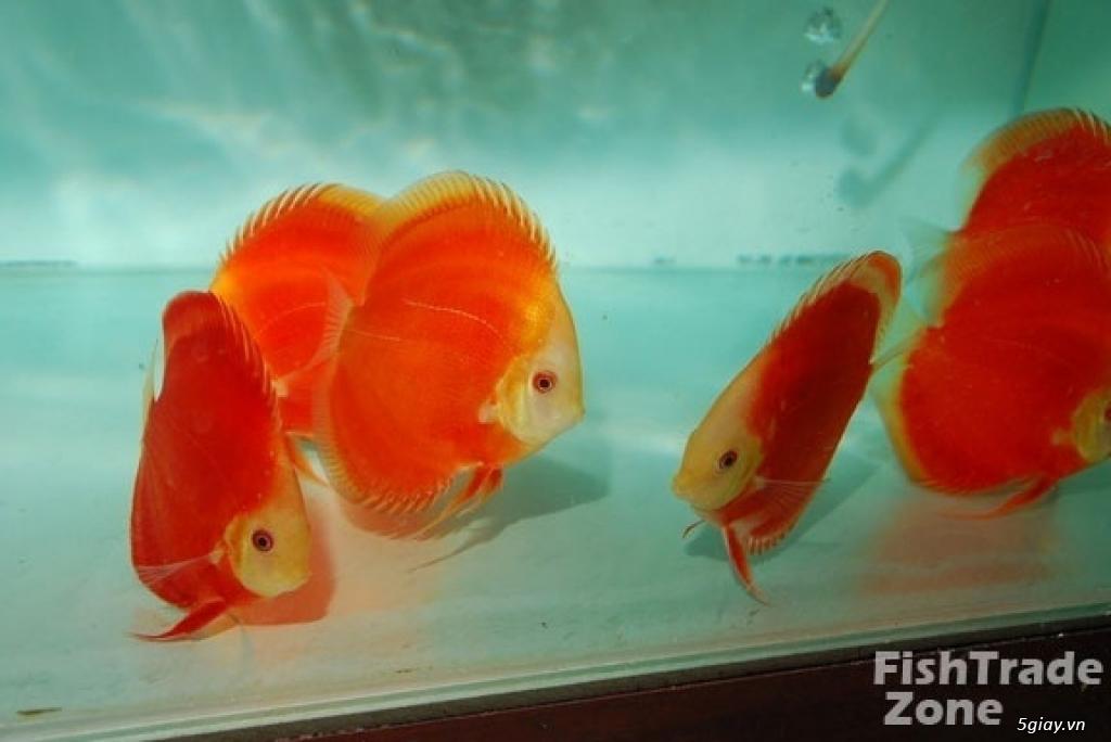 Bình thạnh-Cá cảnh Trung-nguyễn,đủ loại cá cảnh đẹp nhất hiện nay ! - 27