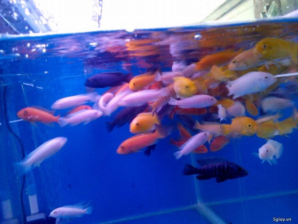 Bình thạnh-Cá cảnh Trung-nguyễn,đủ loại cá cảnh đẹp nhất hiện nay ! - 4
