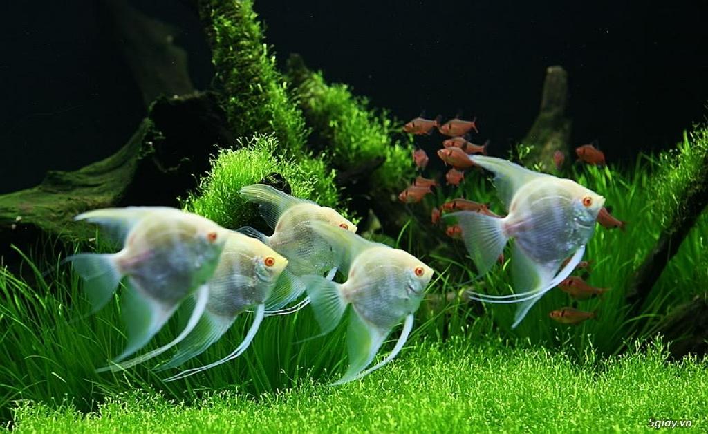 Bình thạnh-Cá cảnh Trung-nguyễn,đủ loại cá cảnh đẹp nhất hiện nay !