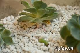 Chuyên Perlite làm xốp đất dùng cho cậy hoa hồng leo - 4