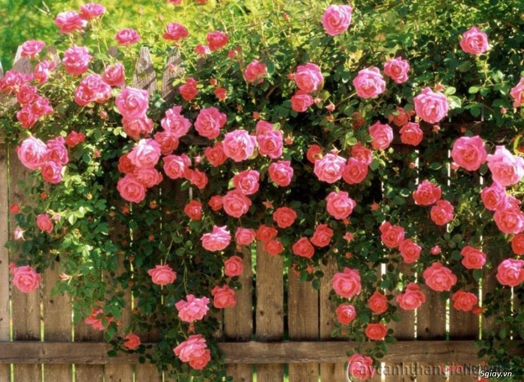 Chuyên Perlite làm xốp đất dùng cho cậy hoa hồng leo - 3