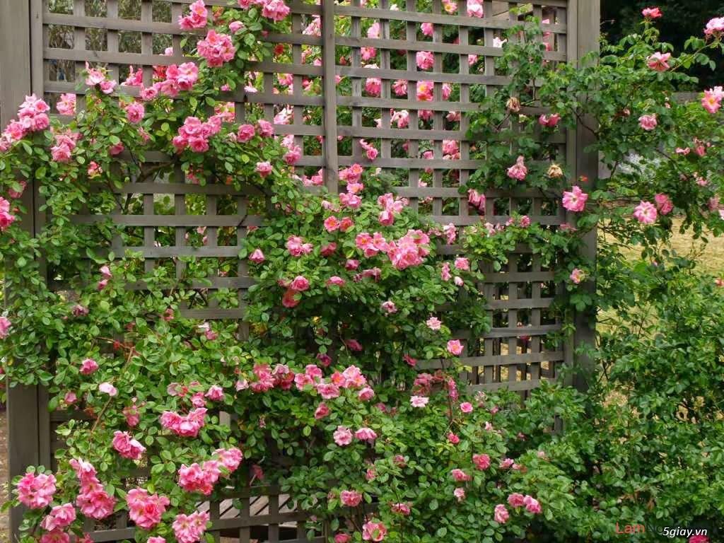 Chuyên Perlite làm xốp đất dùng cho cậy hoa hồng leo - 8