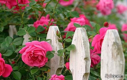 Chuyên Perlite làm xốp đất dùng cho cậy hoa hồng leo - 5