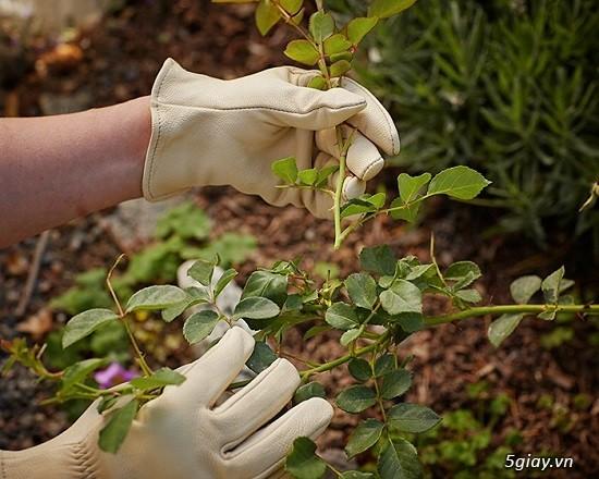 Chuyên Perlite làm xốp đất dùng cho cậy hoa hồng leo - 6