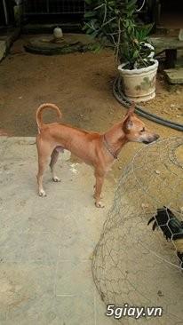 Phối giống chó  Phú Quốc  VKA F1 đã có sản phẩm - 2