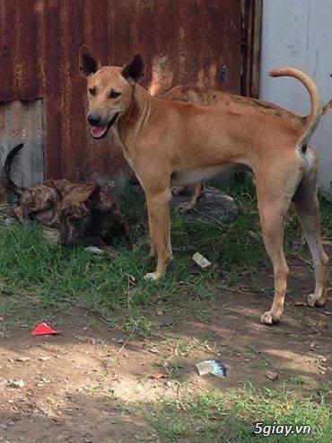 Phối giống chó  Phú Quốc  VKA F1 đã có sản phẩm - 3