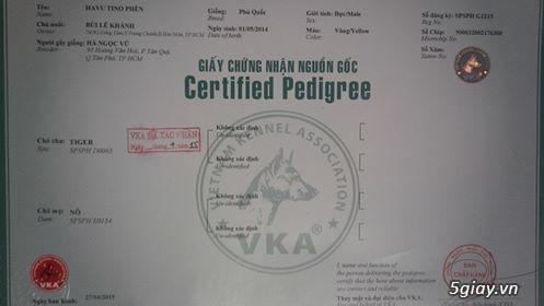 Phối giống chó  Phú Quốc  VKA F1 đã có sản phẩm - 4