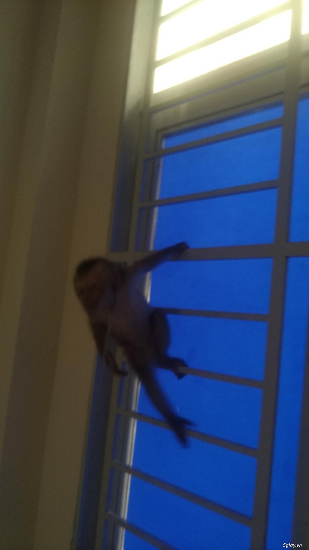 Bán khỉ con 4 tháng tuổi .. - 3
