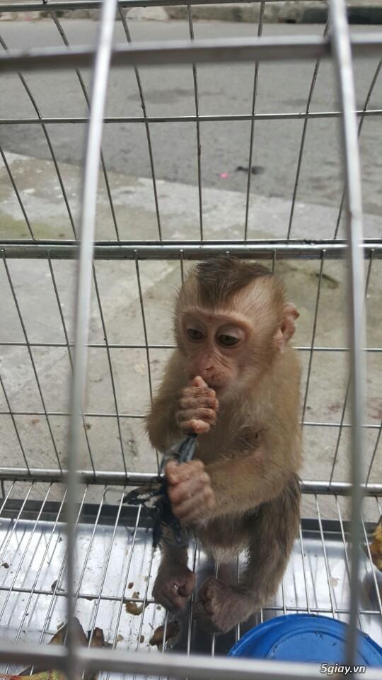 Bán khỉ con 4 tháng tuổi ..