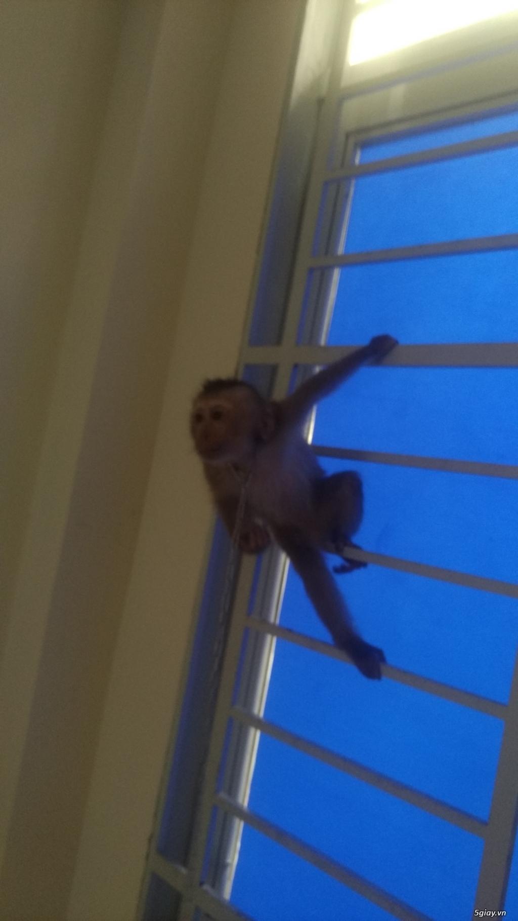 Bán khỉ con 4 tháng tuổi .. - 2
