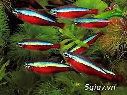 Cá neon vừa ( neon đỏ) giá sỉ 4k/ con