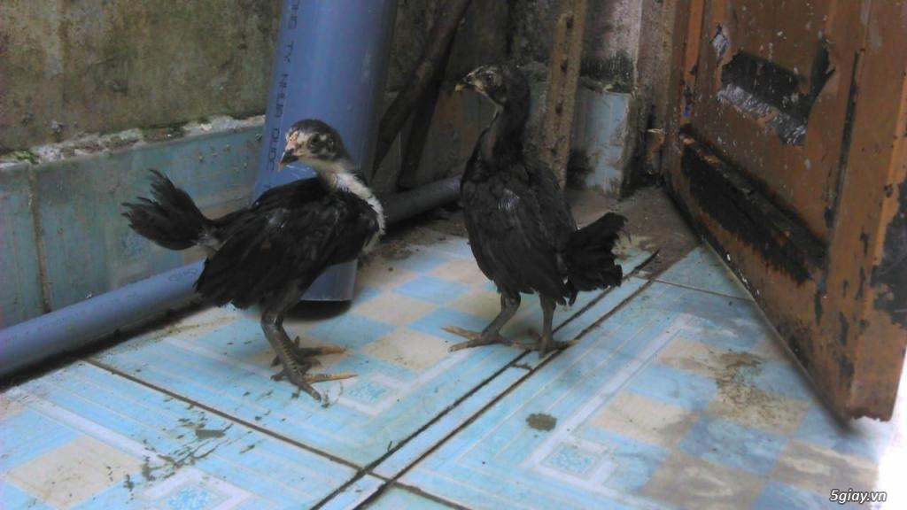 gà con jap-mỹ-asil từ 1,5 -2.5 tháng - 18