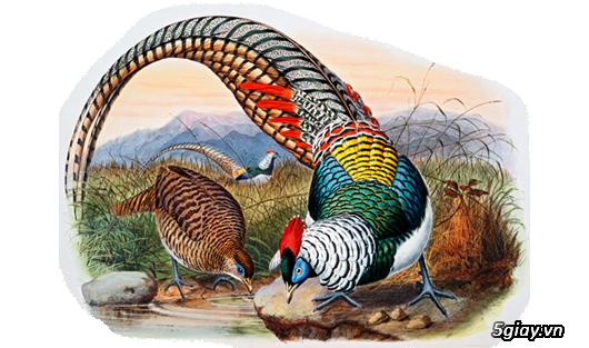 Chim trĩ bảy màu