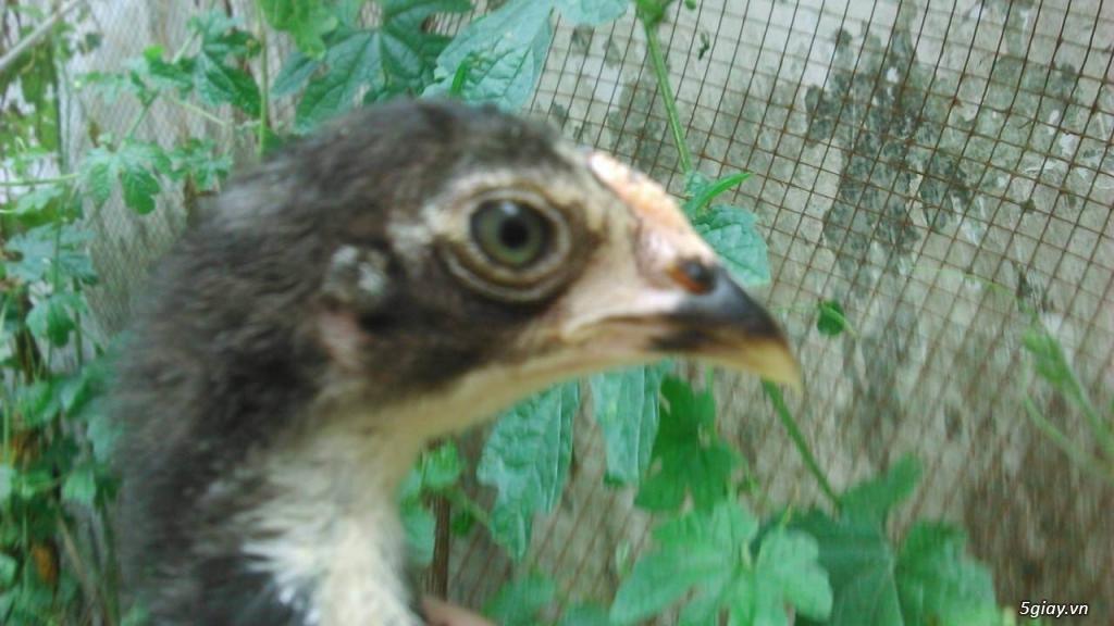 gà con jap-mỹ-asil từ 1,5 -2.5 tháng - 8