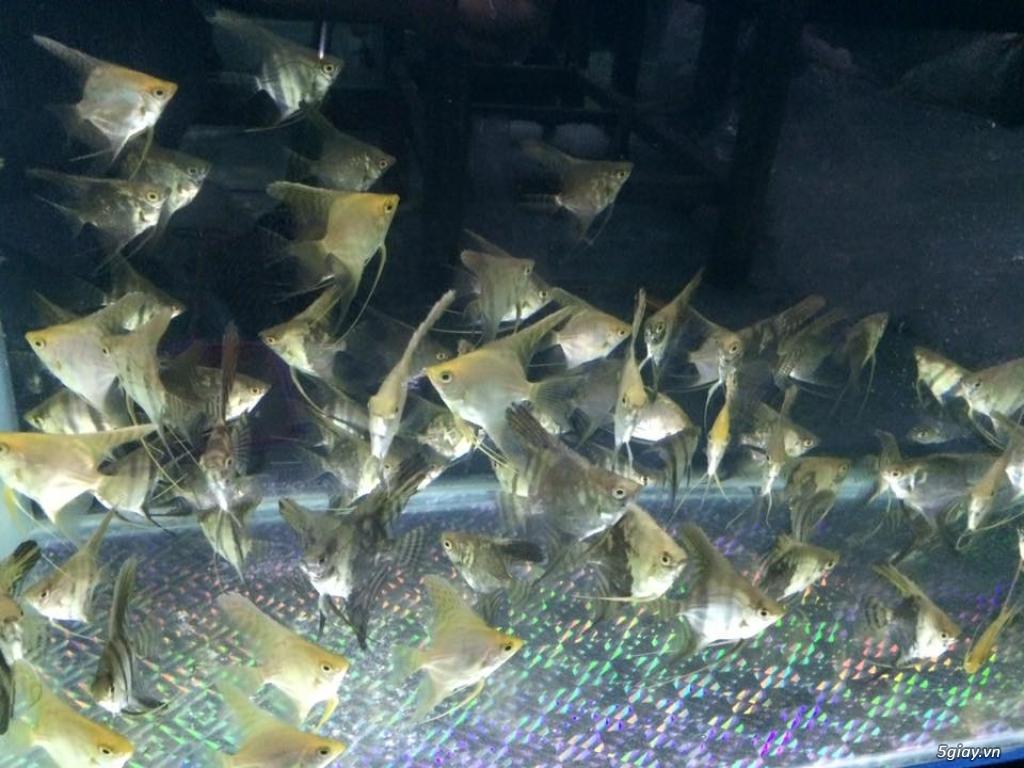 Cá cảnh Kiều anh . cung cấp sỉ lẻ cá cảnh  trên toàn quốc - 6