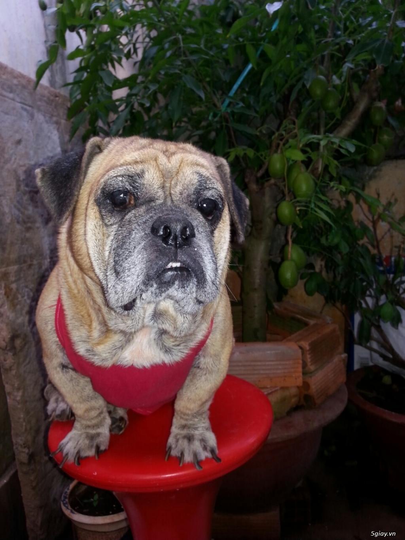 Vũng Tàu :Bán chó Pug đẹp