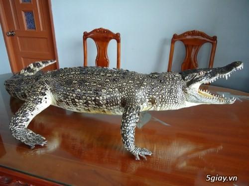 cá sấu nhồi bông da thật nguyên con - 2