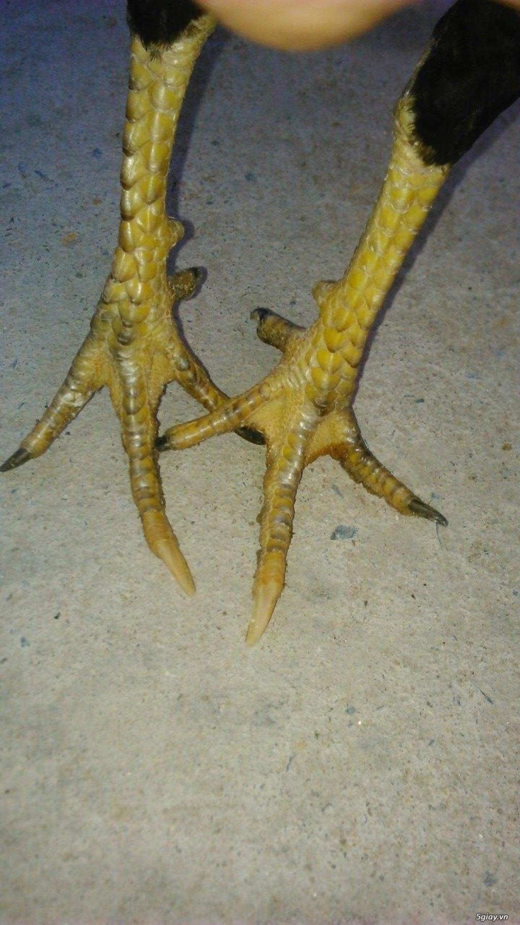 gà con jap-mỹ-asil từ 1,5 -2.5 tháng - 5