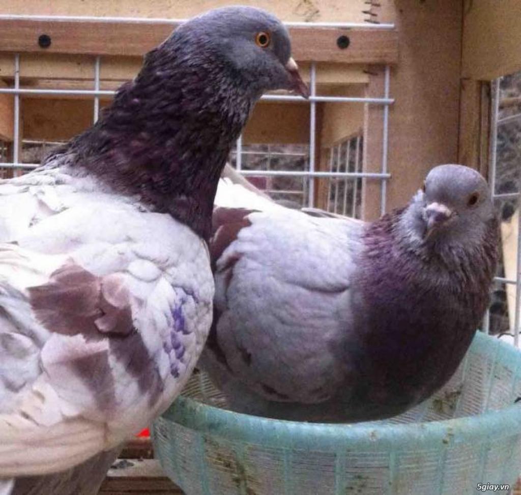 Chim Bồ Câu Ra Ràng ,chim Thịt ,giống Các Loại.