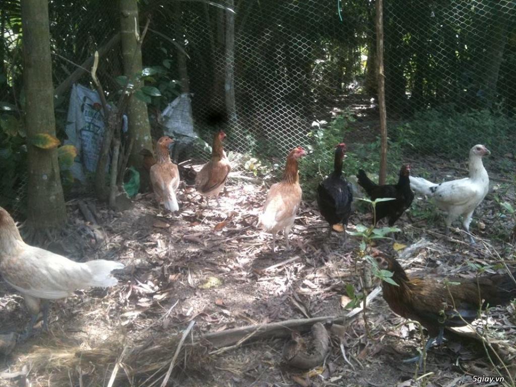 (HCM-Tân bình)--->Một số gà mỹ rặc,asil+camalo,nava+mỹ (hàng tuyển) - 1