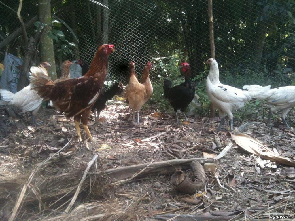 (HCM-Tân bình)--->Một số gà mỹ rặc,asil+camalo,nava+mỹ (hàng tuyển) - 3