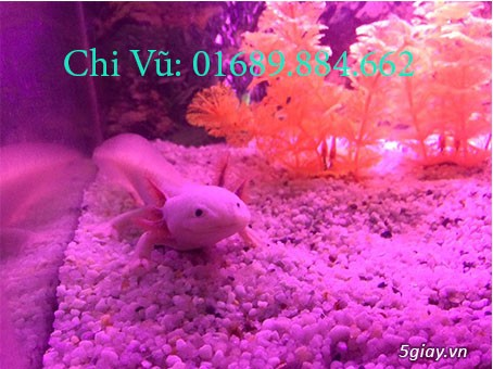 Bán cá khủng long 6 sừng 4 chân axolotl