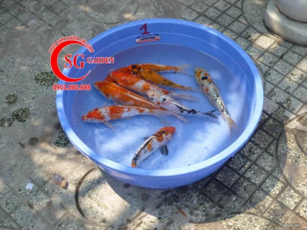 Bán Cá Koi Giá Sỉ Rẻ Nhất Thành Phố Hồ Chí Minh