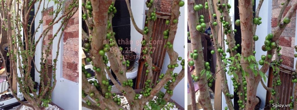 Mua bán sỉ và lẻ Nho Thân Gỗ cây giống TPHCM - 5