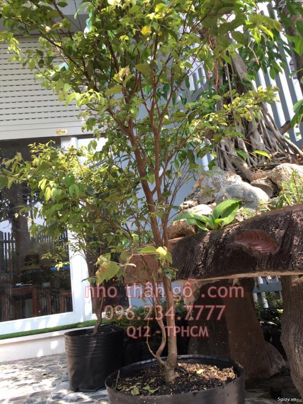 Mua bán sỉ và lẻ Nho Thân Gỗ cây giống TPHCM - 4
