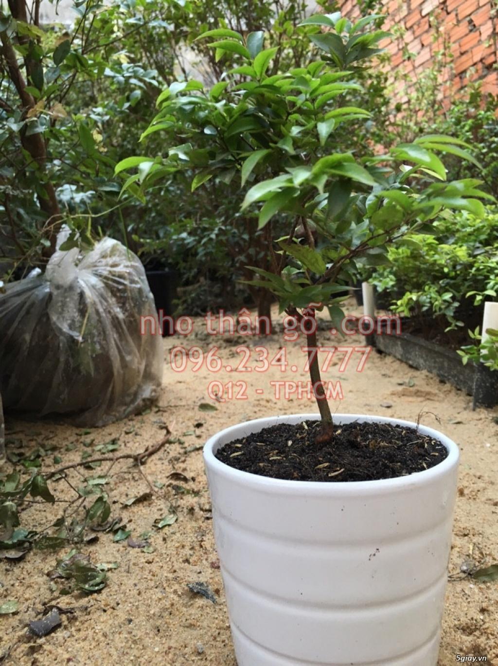 Mua bán sỉ và lẻ Nho Thân Gỗ cây giống TPHCM - 3
