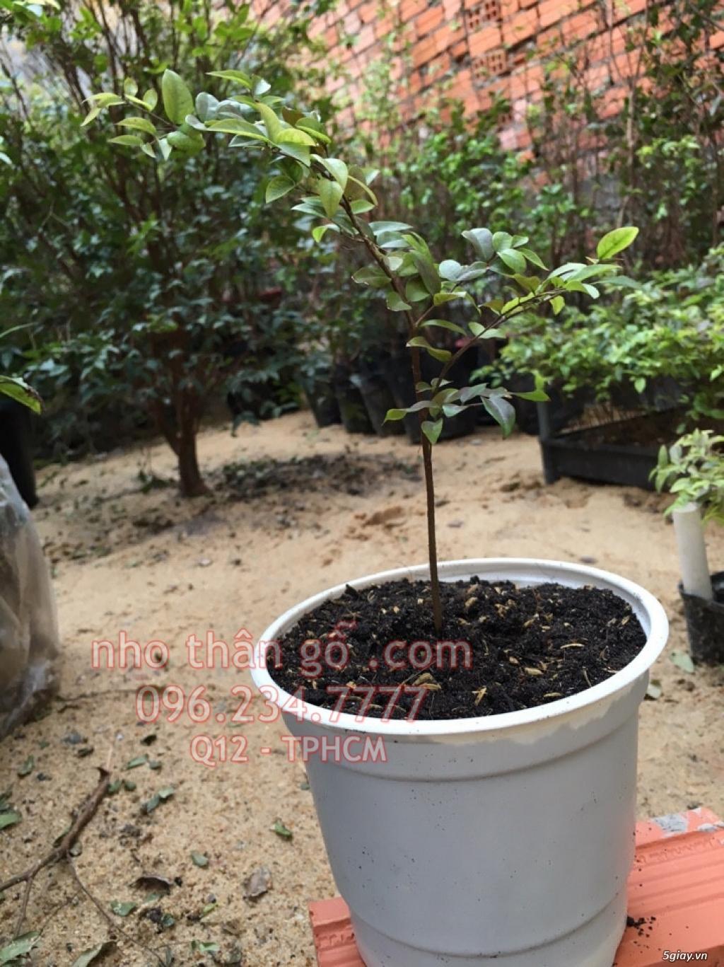 Mua bán sỉ và lẻ Nho Thân Gỗ cây giống TPHCM - 2