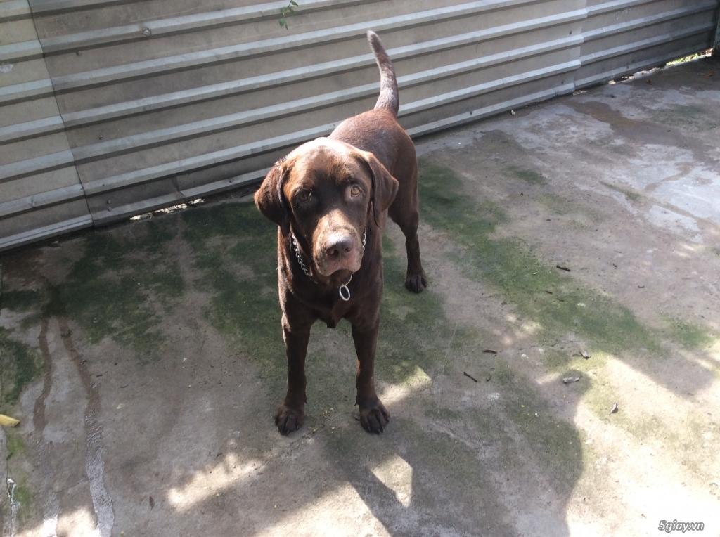 Thủ Đức nhận đặt gạch đàn Labrador màu socola và bạch kim - 5