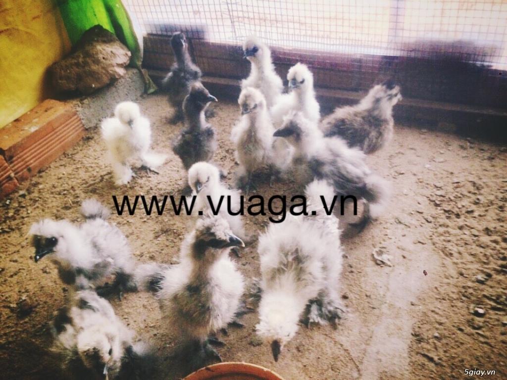 Gà silkie lông xù,chó Nhật đẻ trứng - 4