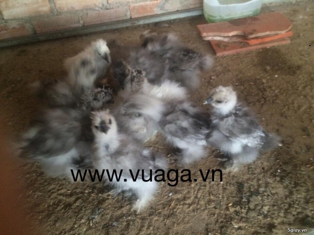 Gà silkie lông xù,chó Nhật đẻ trứng - 3