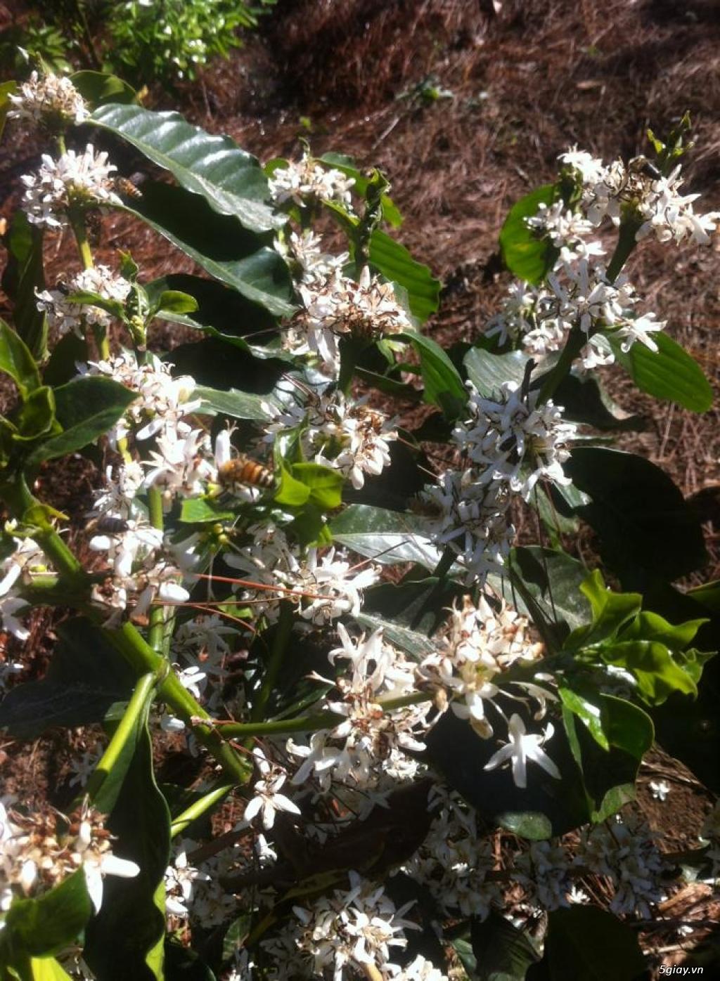 Mật ong hoa cà phê Arabica - 11