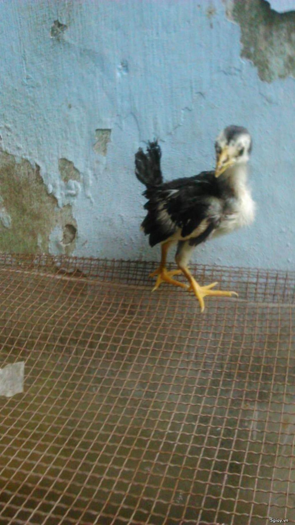 gà con jap-mỹ-asil từ 1,5 -2.5 tháng - 1