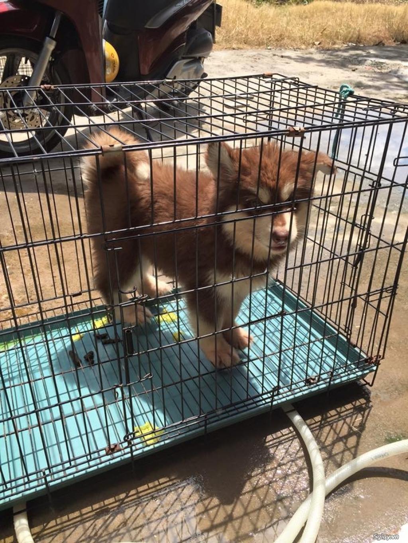 Chuyên bán và nhận oder các giống chó husky,alaska,samoyed..update thường xuyên !!! - 22